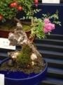 バラ盆栽2