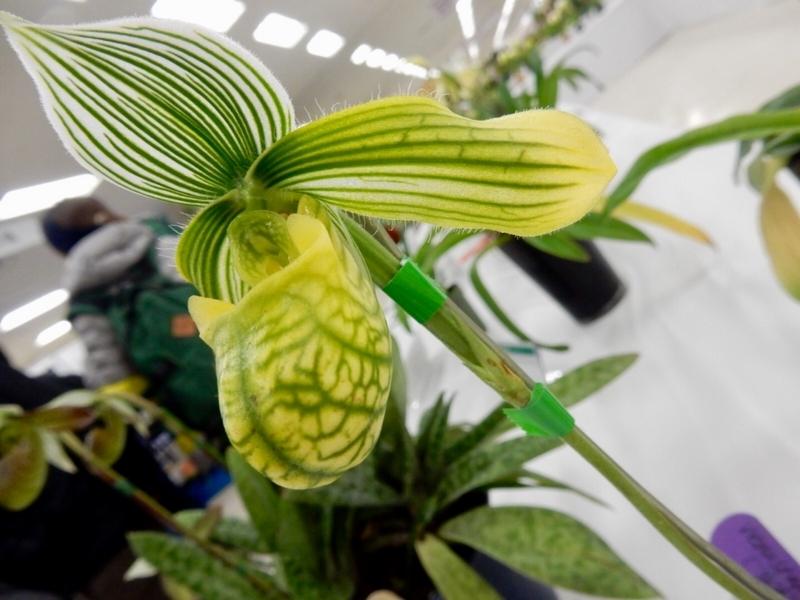 パフィオペディラム「Paph. venustum fma. alba'Hi-Isle'」