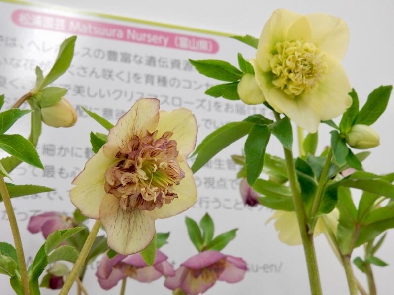 アネモネ咲きプリマドンナシリーズ