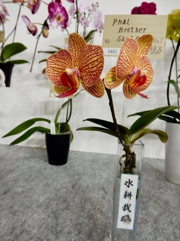 ファレノプシス「Phal. Brother Sara Gold 'No.1'」