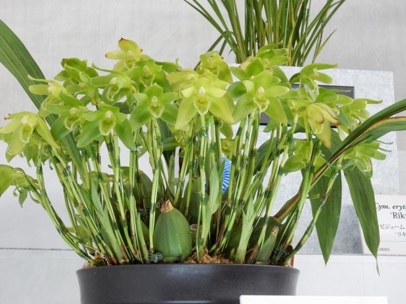 スダメリカステ「Sud. Green Sweetie  'Ikuko'」