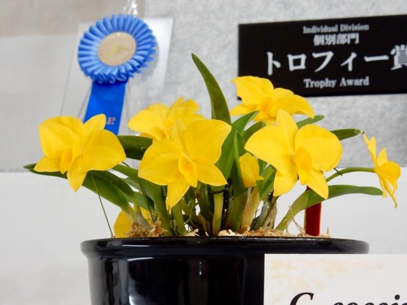 カトレア「C. coccinea fma. amarelo  'Yuki's Full Moon'」