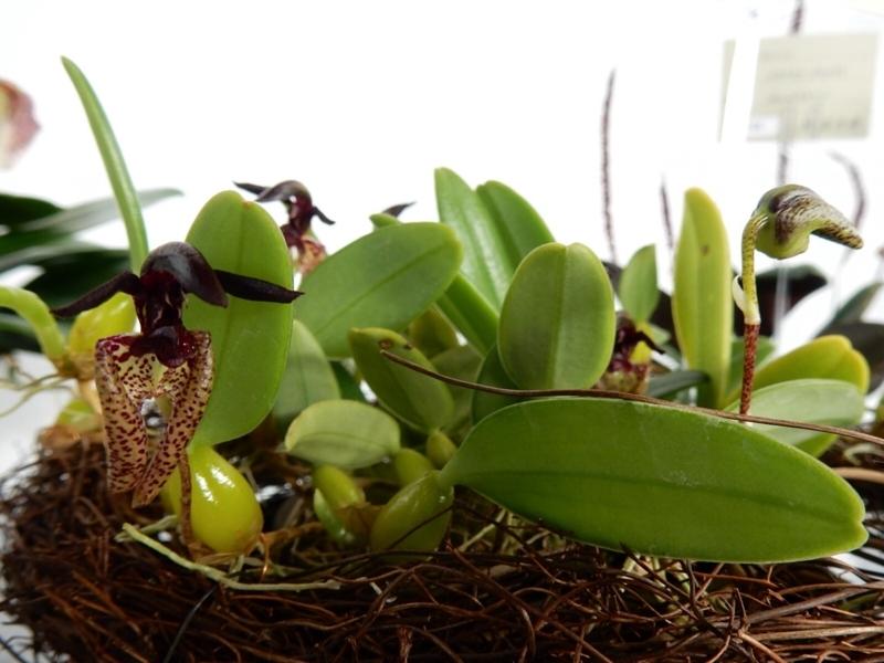 バルボフィラム「Bulb. lasiochilum」