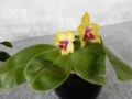 ファレノプシス「Phal. bellina 'Beauty Zama'」