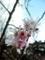 2018/02/27/サクラ「十月桜」
