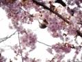 2018/02/27/ヒヨドリ&サクラ「河津桜」