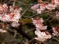 2018/02/27/メジロ&サクラ「寒桜」2