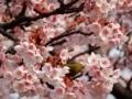 2018/02/27/メジロ&サクラ「寒桜」3