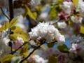 2018/04/19/カスミザクラ '奈良の八重桜'