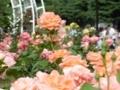 2018/05/06/バラ「ルーピング」