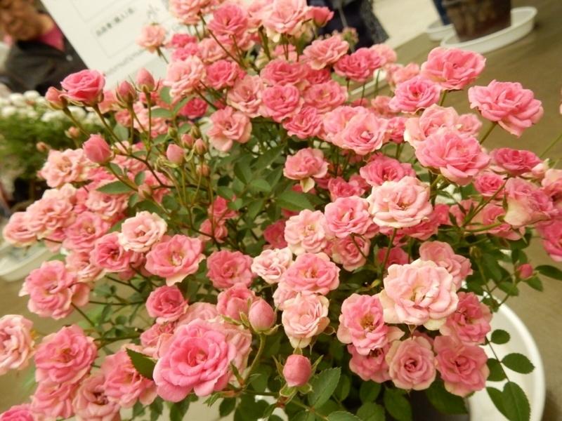 鉢植え部門ミニ小鉢「須恵姫」
