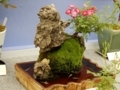 日本ばら会バラの盆栽「トム・サム」