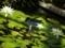2018/08/23/熱帯性スイレン「ホワイトパール」