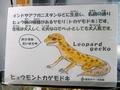 2018/09/07/ヒョウモントカゲモドキ2