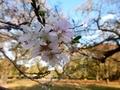 2018/11/14/サクラ「十月桜」
