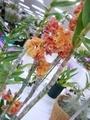 2019/01/10/デンドロビウム「Den. usitae × sib('Red Coral' × 'Tien')」