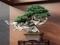 Japan Botanical Style -蘭とBONSAI-・真柏  銘「登龍の舞」
