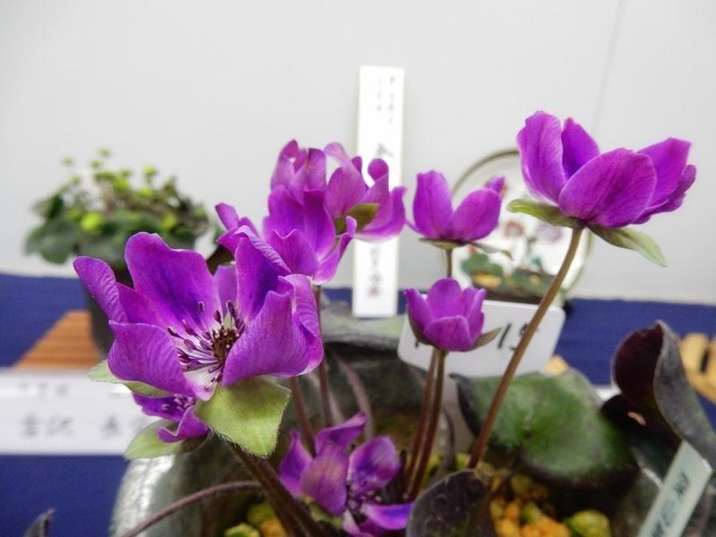 2019/02/24/ユキワリソウ、標準花「深山紫」