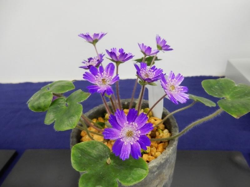 2019/02/24/ユキワリソウ、標準花(ナデシコ咲)「流星(りゅうせい)」