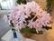 2019/03/08/グアリアンセ「Gur. skinneri fma. coerulescens 'Orchidglade'」