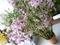 2019/03/08/デンドロビウム「Den. nobile var. variegata 'Sakura'」