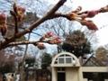 2019/03/16/サクラ「小彼岸」