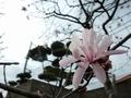 2019/03/22/シデコブシ