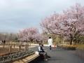 2019/03/22/サクラ「高遠小彼岸桜」1