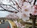 2019/03/22/サクラ「高遠小彼岸桜」2