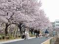 2019/03/22/サクラ「高遠小彼岸桜」4