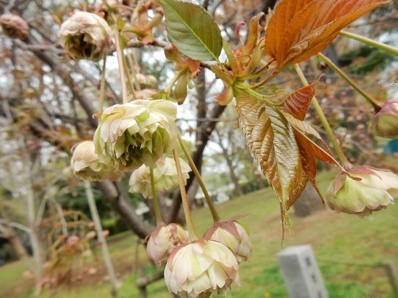 2019/04/14/サクラ「園里黄桜」