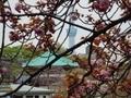 2019/04/14/サクラ「関山」