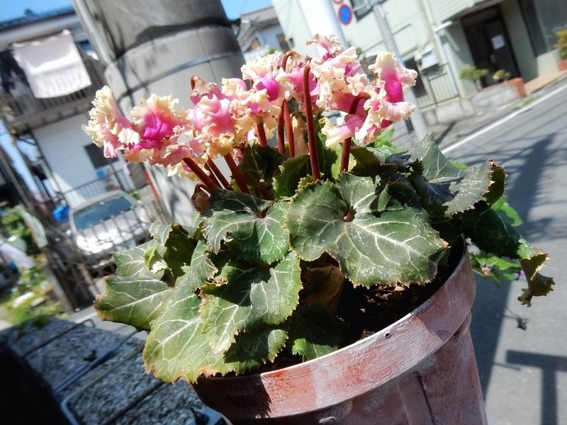 2019/04/20/ガーデンシクラメン「ピポカ」