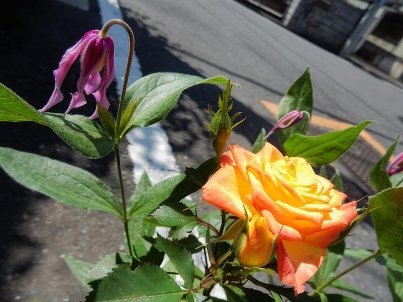 2019/05/15/バラ「ネプチューン・オプティマ」&クレマチス「花島」2