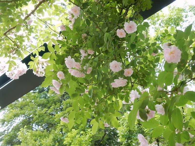 2019/05/18/バラ「ポールズ・ヒマラヤン・ムスク」