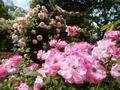 2019/05/18/バラ「ブリリアント・ピンク・アイスバーグ」