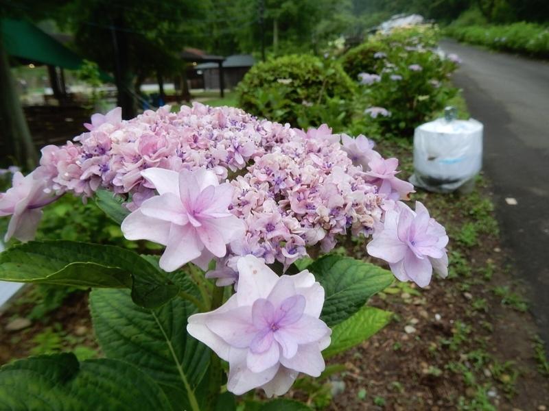 2019/07/06/アジサイ「ウェディングブーケ」