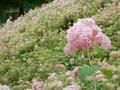 2019/07/06/アジサイ「ピンクのアナベル」