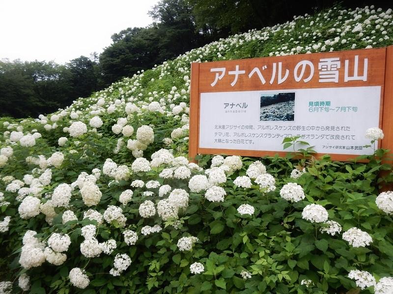 2019/07/06/アジサイ「アナベル」1