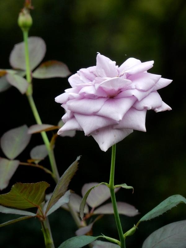 2019/07/18/バラ「青のレクイエム」