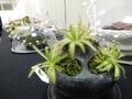 2019/12/28/ドロセラ「Drosera cistiflora × zeiheri」