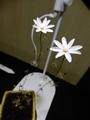 2019/12/28/ドロセラ「Drosera heterophylla」