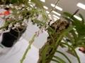 ショエノルキス「Sns. gemmata」