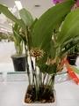 プレウロタリス「Pths. cocornaensis」