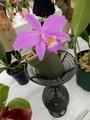 カトレヤ「C. (C. jongheana × C. sincorana)」