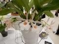 トリコピリア「Trpla. (Trpla. oicophyllax × Trpla. suavis)」