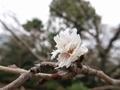 2020/01/22/サクラ「子福桜」