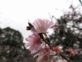 2020/01/22/サクラ「十月桜」