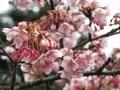 2020/01/22/サクラ「寒桜」