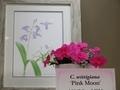 カトレア「C. wittigiana 'Pink Moon'」